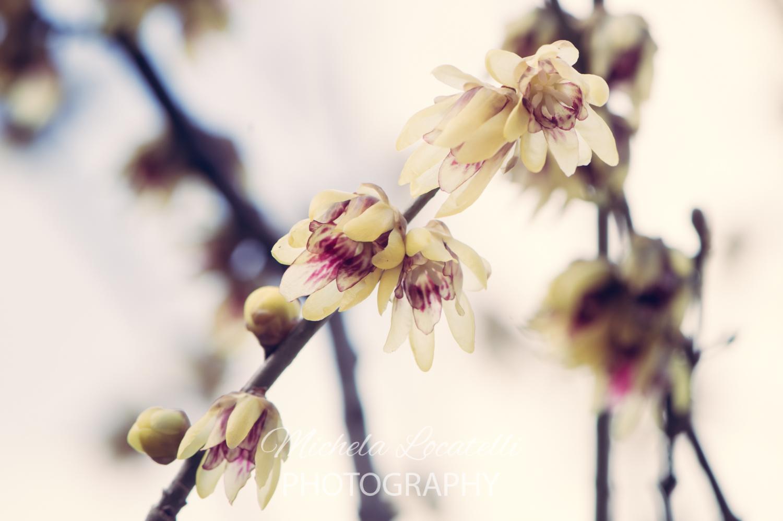 Calicanto Fiore D Inverno il calicanto - photolocatelli's blog - shopping